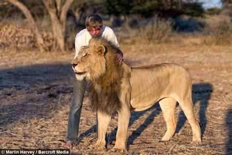 mane attraction man cuddles  kisses huge pet lion