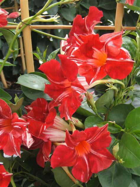sundaville fiore easy tips from suntory flowers for creating patriotic gardens