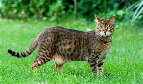 Leopard House Cat by Cafechoo Image House Leopard Cat
