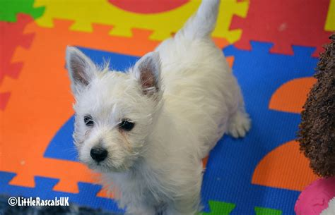 black west highland terrier puppies for sale pets for sale dogs for sale puppies for sale free
