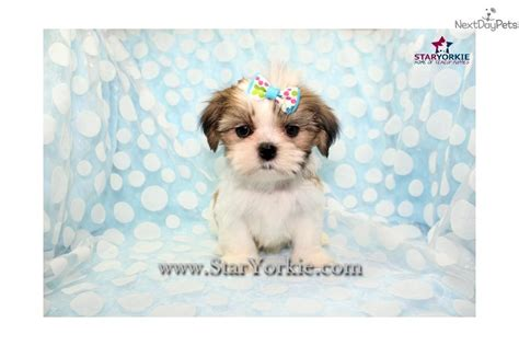 teacup shih tzu price range shih tzu puppy for sale near los angeles california b7c6581f d861