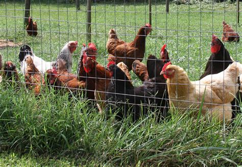 Backyard Chickens by Caes Newswire Backyard Chickens