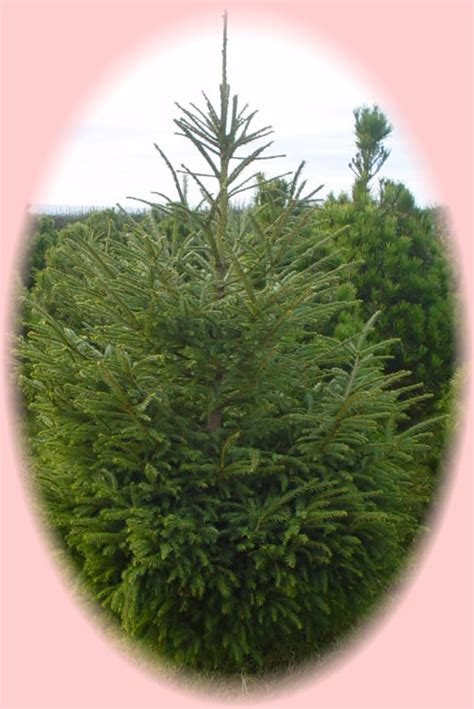 norway spruce christmas tree northern ireland ni