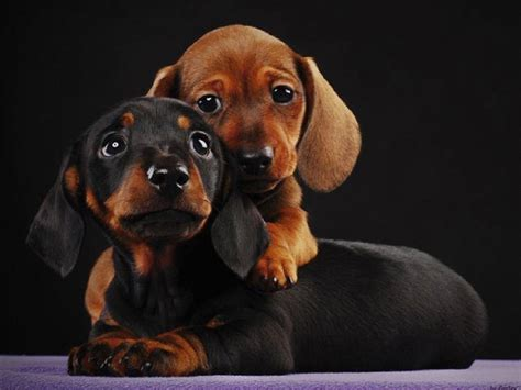 dachshund pictures dachshund wallpapers hd