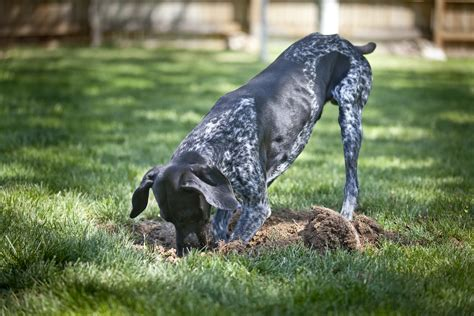 how to keep dog in yard prevent your dog from digging up your yard mindful