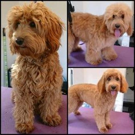 cavapoo haircut before and after advice and guidance on how to groom your cockapoo