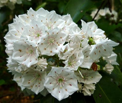 mountain laurel new hshire garden solutions