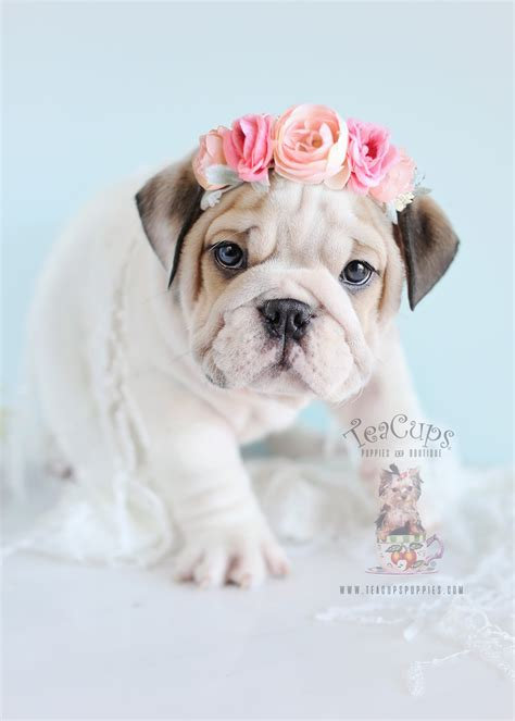 puppy for bulldog puppies for sale teacups puppies boutique