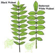 tree finder tree finder leaf identification part 2