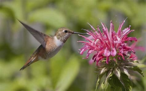 plants that attract hummingbirds landsburg landscape nursery