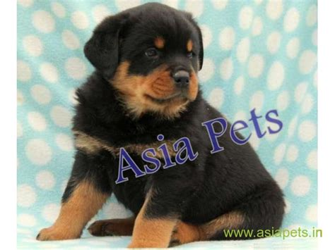 rottweiler puppies price in pune price of rottweiler puppies in pune photo
