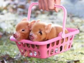 pigs training wheels