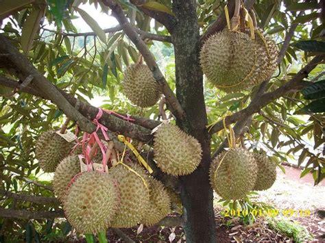 Nature Stek Pohon pupuk durianpupuk masa depan