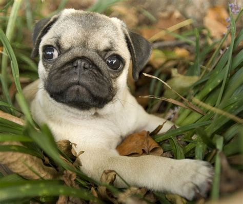 minature pugs mini pug images frompo