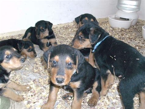 gollie puppies for sale airedale terrier for sale by american kennel club