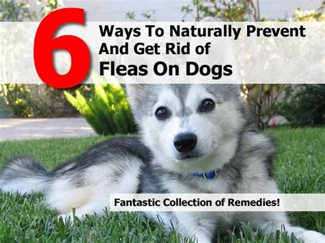 getting rid of fleas on dogs and in the house 6 ways to naturally prevent and get rid of fleas on dogs