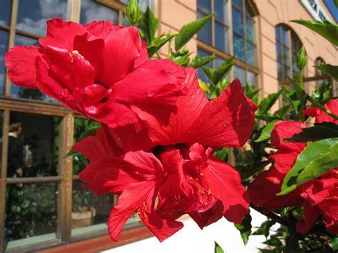 gambar menanam bunga bangunan musim panas merah