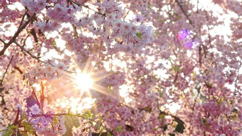 Blossom Shieneng cherry blossoms and sun light stock footage 3835241