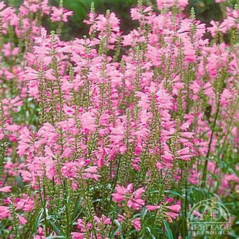 flowering shrubs zone 9 obedient plant physostegi virginiana sun or partial