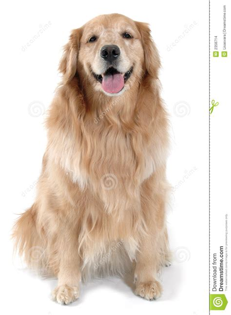 golden retriever sitting golden retriever sitting stock photo image of friend 2358714