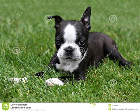 free boston terrier puppies free boston terrier puppies 25 background dogbreedswallpapers