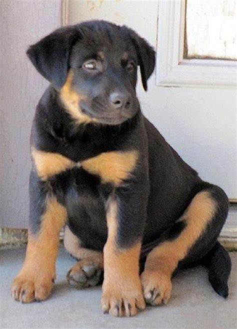 rottweiler x lab lab rottweiler mix puppies for sale zoe fans baby animals