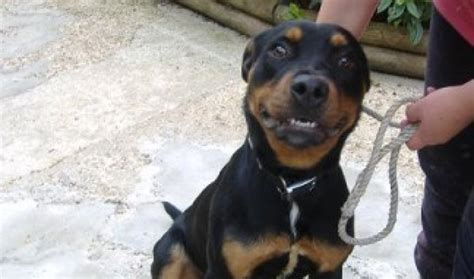 6 month rottweiler harry 6 month rottweiler for adoption