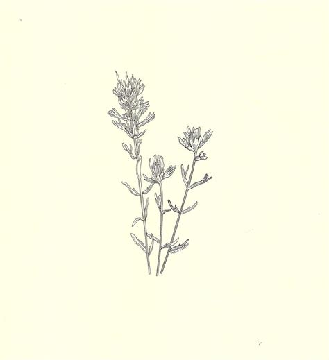 paintbrush tattoo designs indian paintbrush botanical drawing search