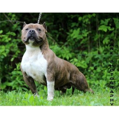 bull terrier puppies for sale in nc camo kennels american pit bull terrier breeder in mt airy carolina listing id