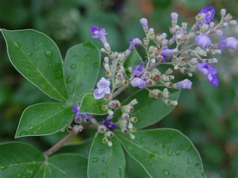 legundi ciri ciri tanaman  khasiat  manfaatnya