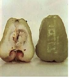 Bibit Jambu Air Madura bibit buah jambu air eugenia aquea burm cv mutiaratani