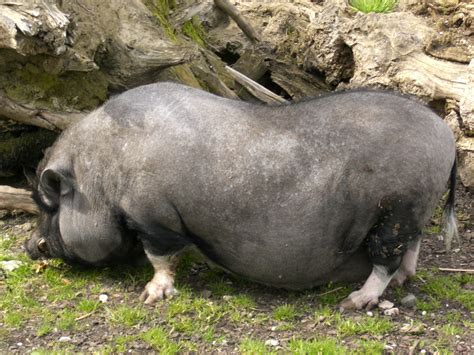 pot bellied pig sus scrofa domestica wiki image only