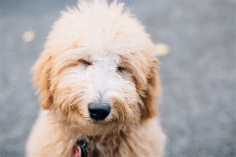 goldendoodle puppy exercise how to your goldendoodle or labradoodle tully s