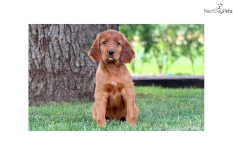 irish setter girl dog names angel irish setter puppy for sale near lancaster