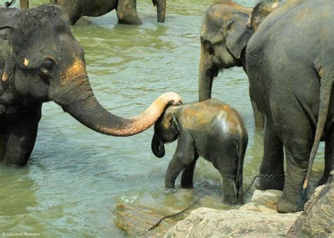 elephant in the bathtub sri lanka baby elephant bath in the river picture
