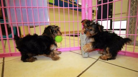 yorkie poos for sale in ga friendly yorkie poo puppies for sale in atlanta ga at puppies for sale