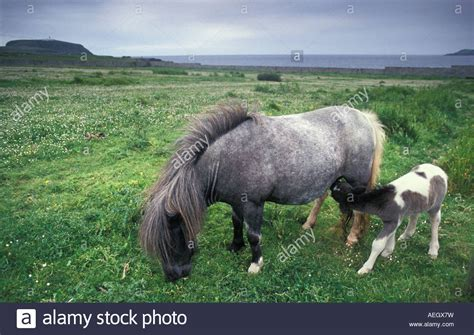shetland pony stock photos images royalty free shetland great britain shetland islands shetland ponies grazing on