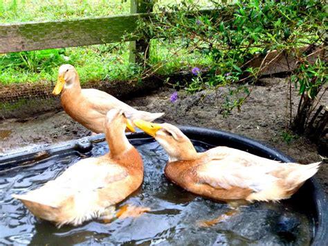 backyard duck breeds duck breeds for backyard flocks hgtv