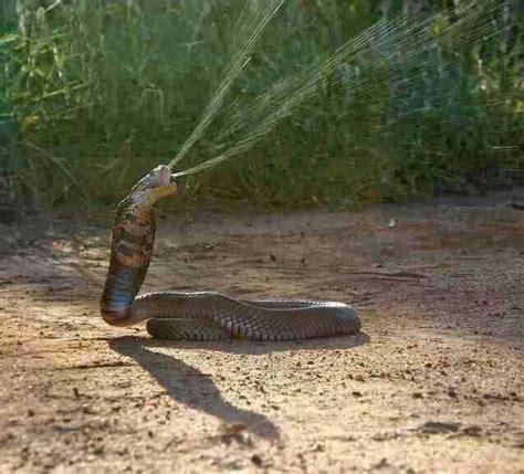 Sprei Javan best ideas about cobra spitting javan spitting and ssssss