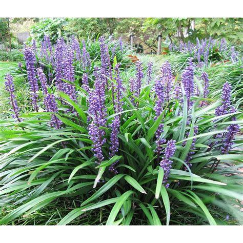 liriope muscari big blue lily turf paramount nursery
