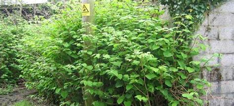 would you buy a house with japanese knotweed japanese knotweed blocks drains crescoservices com