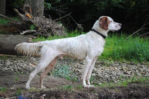 English Setter Pointer Dog Breeds | english pointer dog photo english pointer english setter