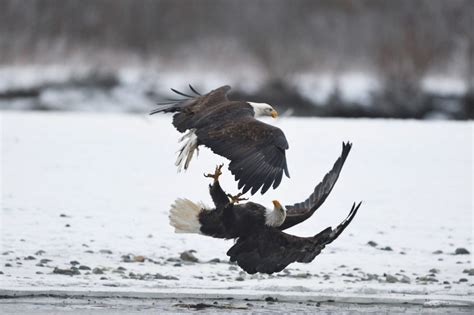 Humm3r Eagle bald eagle photo tour bald eagle photography workshop