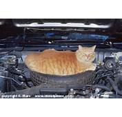 Cat On Car Engine  Welcome To Your Pet Space