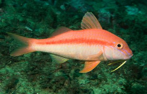 summer of the goatfish deep sea news
