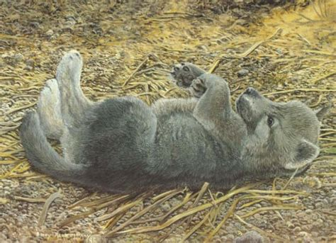 grey wolf cub art  barry kent mackay   creatures