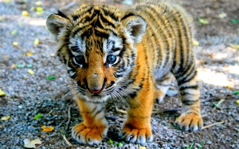 Awesome Animal lovable images tiger hd wallpapers free