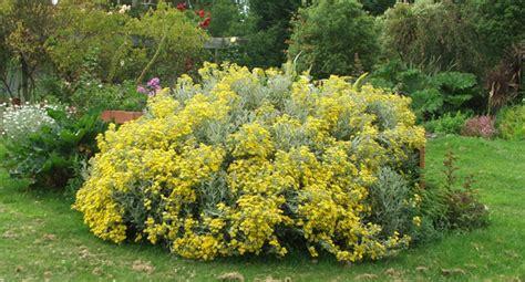 shrubs with yellow flowers in summer senecio bush