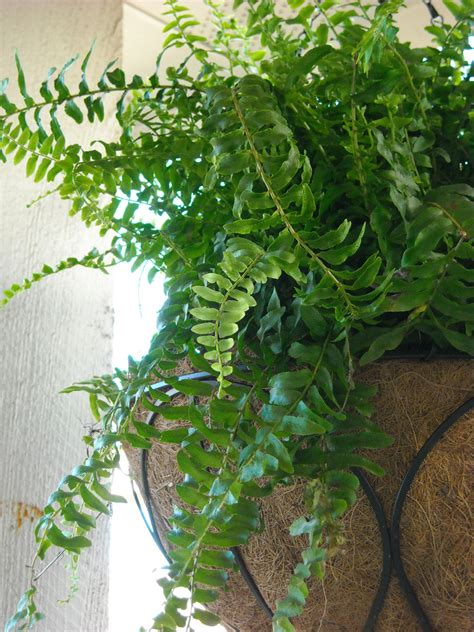 low light hanging plants boston fern care how to take care of a boston fern