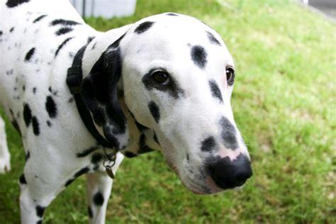 are dalmations dogs file dalmatian jpg wikimedia commons
